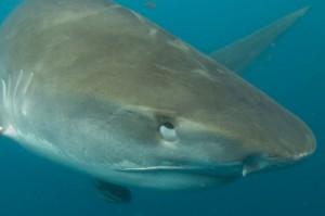 @M. Dupuis - membrane nictitante - requin tigre - Galeocerdo cuvier