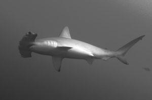 ©M. Dupuis - Sphyrna lewini - requin marteau halicorne - droits réservés
