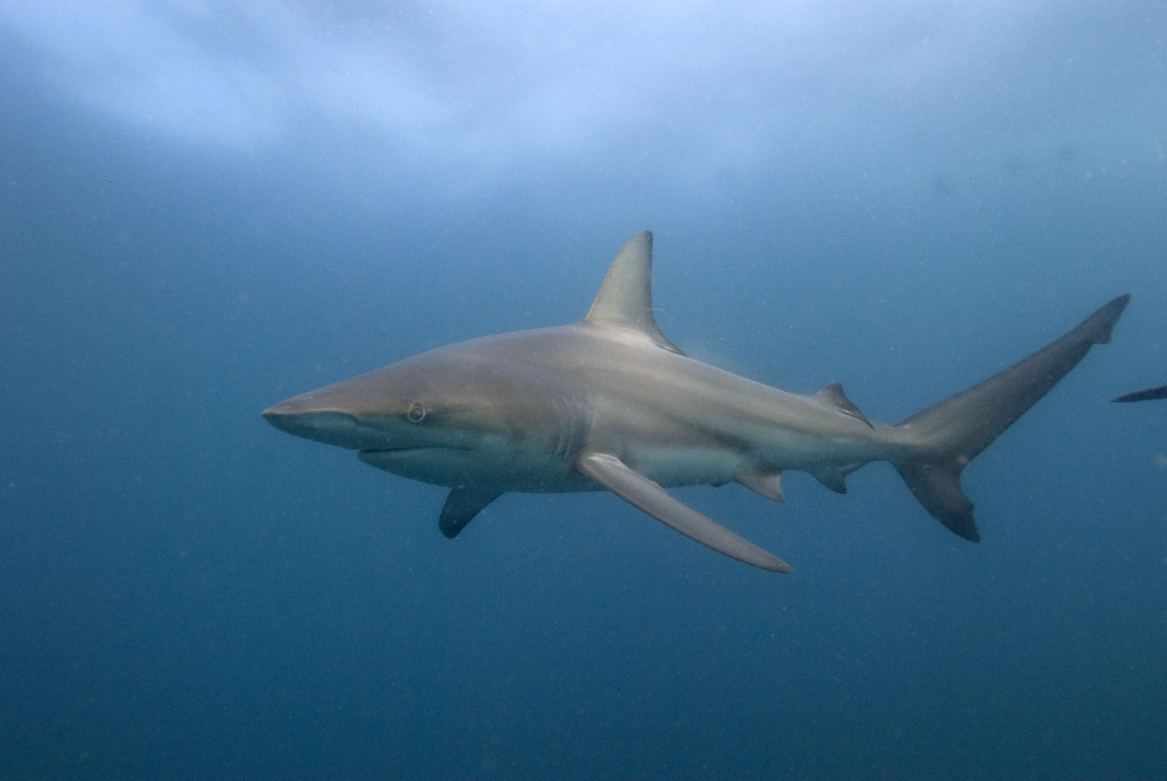 Sharks s o s site de d fense des requins animaux en voie de disparition page 7 - Requin rigolo ...