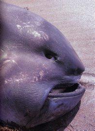 tête de requin grande gueule