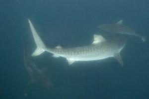 ©M. Dupuis - Galeocerdo cuvier, requin tigre en Afrique du Sud, océŽan indien