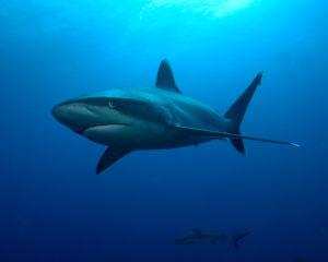DSC_0103 - requin du récif à pointes blanches pour blog