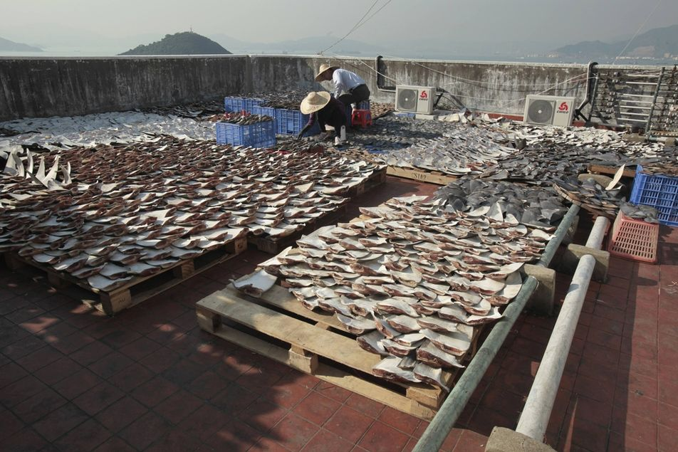 workers-lay-out-pieces-of-shark-fin-to-dry-on-a-roof