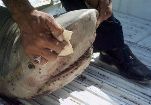 requin blanc mort tenu par un pêcheur - source AFP