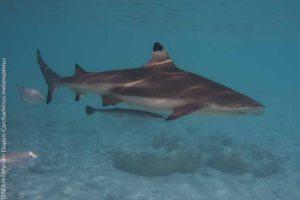 requin pointe noire, requin de récif