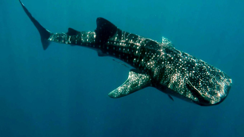requin-baleine, Nosy Be, Madagascar
